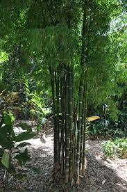 bamboo land nursery and parklands bambusa nana fine leaf bamboo land nursery qld australia