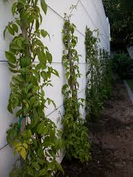 pandorea jasminoides creepers to be trained along stainless steel