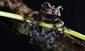 coronated tree frog smithsonian u0027s national zoo