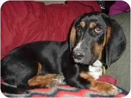 afghan hound rescue az fritz adopted puppy phoenix az basset hound dachshund mix