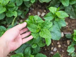 malabar spinach dr weil u0027s healthy garden