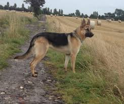 belgian shepherd breeders uk dog conformation page 7 positively victoria stilwell forum