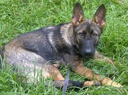 belgian shepherd 4 months what is average height for 6 month old male page 1