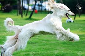 afghan hound attack fierce dog images u0026 stock pictures royalty free fierce dog photos
