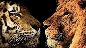 what are similarities between lions and tigers most of my classmates