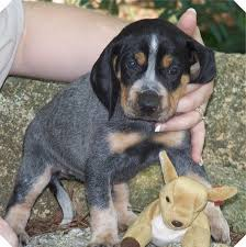 bluetick coonhound puppies for sale 72 best hound dogs images on pinterest hound dog bluetick