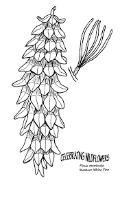 pine tree coloring pages coloring book pages