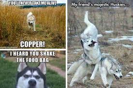 Siberian Husky Meme - 26 of the best siberian husky memes american kennel club