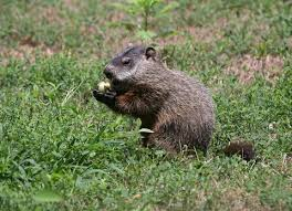 burrows u0027s groundhog