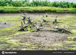 green algae on a surface of the lake stock photo sirayot12345