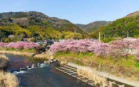 cherry blossoms arrive early in this japanese town travel leisure