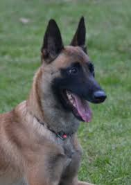 belgian shepherd dog for sale police k9 u0027s u0026 security dogs recently sold