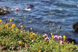 coastal native plants coastal bluff and marine zone collections mcbg inc 2017