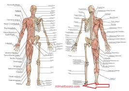 Human Anatomy Images Free Download All Medical Books Collection Of Best Medical Books