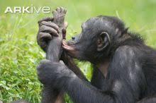 siege social bonobo bonobo photo pan paniscus g114691 arkive