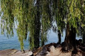 weeping willow tree atmosphere free photo on pixabay
