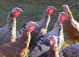 35 best turkeys images on farm animals raising