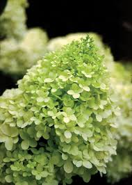 25 limelight hydrangea ideas hydrangea tree