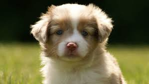 l australian shepherd may 2011 mini aussie puppies u2014 breezemore