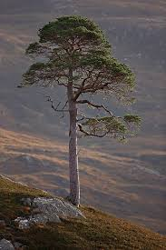 best 25 pine tree ideas on pine tree tree print