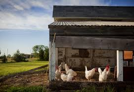 Easy Backyard Chicken Coop Plans by Raising Chickens 101 How To Build A Chicken Coop Diy Chicken
