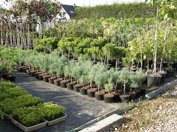 betula nursery ornamental trees and shrubs thuja occidentalis