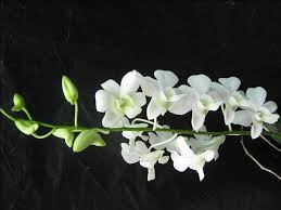 white orchids orchid upgrade