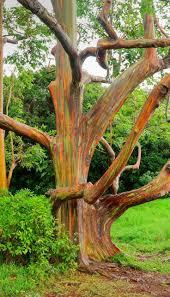 best 25 rainbow eucalyptus tree ideas on pinterest eucalyptus