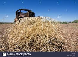 tumbleweed bush stock photos u0026 tumbleweed bush stock images alamy
