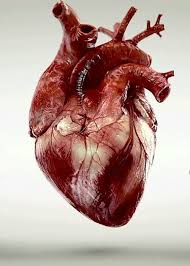 Gross Anatomy Of The Human Heart Top 25 Best Anatomical Heart Ideas On Pinterest Human Heart