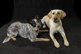 Seeking Honey Green River Residents Seeking Lost Dogs