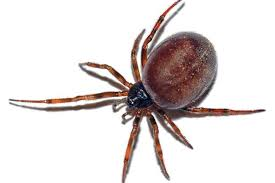 Black Widow Spiders Had A - false widow spider ten facts about britain s most poisonous that