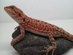 blood red bearded dragon u2022 bearded dragon org