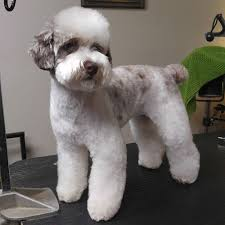 haircutsfordogs poodlemix groomerisms and the art of zen grooming how to asian fusion