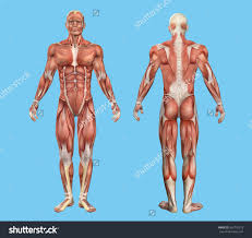 Human Anatomy Male Muscle Anatomy Male Human Anatomy Male Muscles Royalty Free Stock