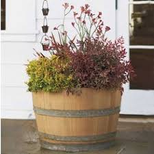 whiskey barrel planter with sweet potato vines snap dragons and