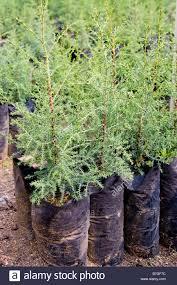 baby gravila trees used for shading coffee plants near antigua