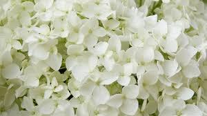 free photo ornamental shrub white flowers annabelle hydrangea