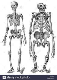 Anatomy Of The Human Skeleton The Human Skeleton As Compared To A Gorilla Skeleton Anatomy