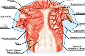 Human Anatomy Torso Diagram Diagram Human Muscles U2013 Hd M Com