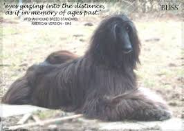 us afghan hound children of peace afghan hound photo page pictures hosanna afghan