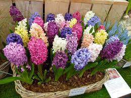 hyacinth flower hyacinth flower the fragrant blossoms the blossoms of