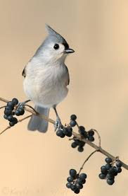 77 best birds tufted titmice images on pinterest birds photos