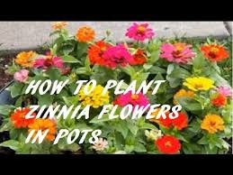 zinnias flowers zinnias how to plant grow and care for zinnia flowers iihow to