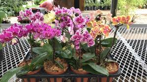 orchids for sale orchids for sale roodepoort gumtree classifieds south africa