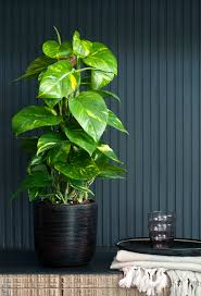 plants that don t need sunlight to grow epipremnum of scindapsis grote groene planten pinterest