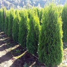 cedar hedging products bc farm fresh