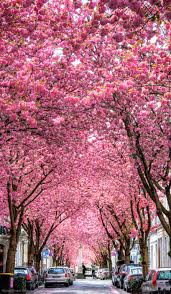 Cherry Blossom Facts by Cherry Blossom Tree Tunnel In Bonn Germany Fun Funny Funny Pics