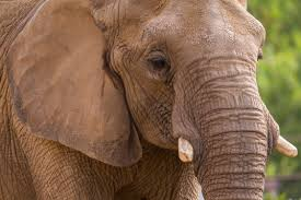 african elephant mila found dead at san diego zoo cbs news 8