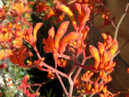 great drought tolerant plant kangaroo paw apartment therapy